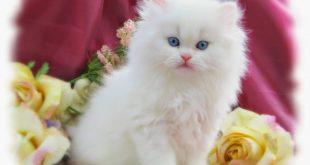 صور قطط شيرازي , مناظر مختلفه من صور القطط الشيرازي