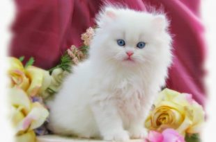 صور صور قطط شيرازي , مناظر مختلفه من صور القطط الشيرازي