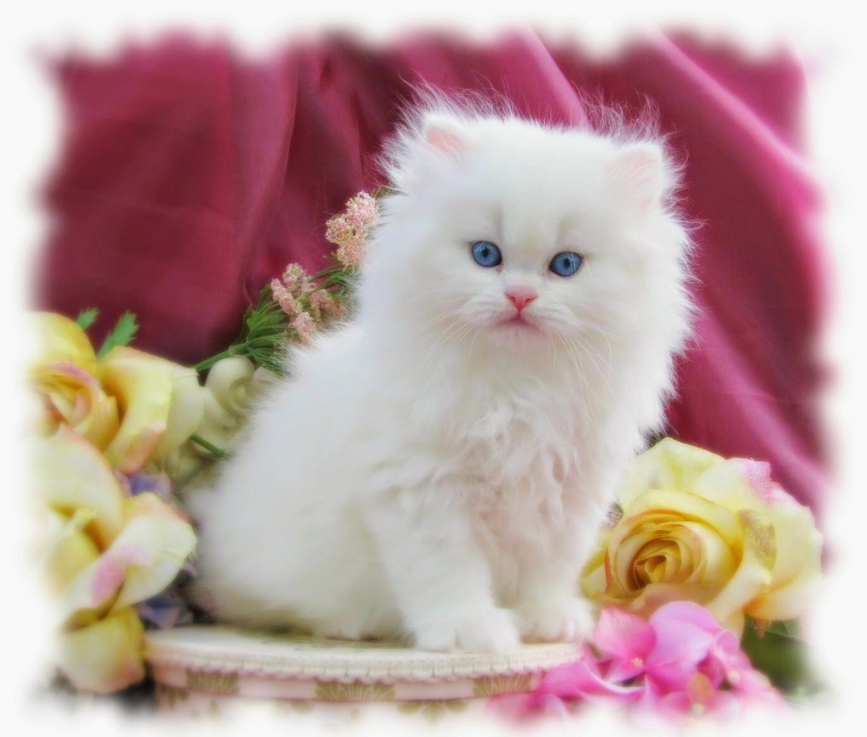 صوره صور قطط شيرازي , مناظر مختلفه من صور القطط الشيرازي