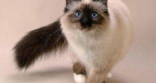 بالصور قطط سيامو , معلومات عن القطط معروف باسم سيامو 2661 10 310x165