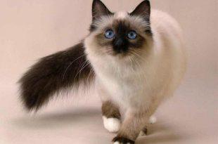 صوره قطط سيامو , معلومات عن القطط معروف باسم سيامو