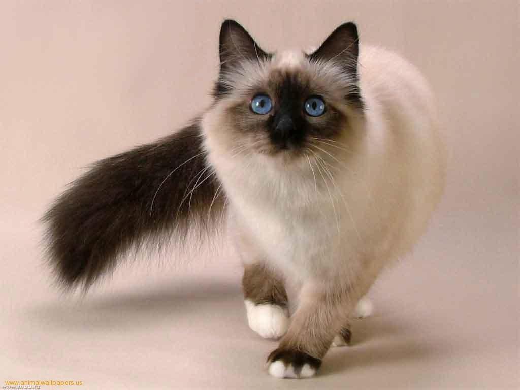 صور قطط سيامو , معلومات عن القطط معروف باسم سيامو