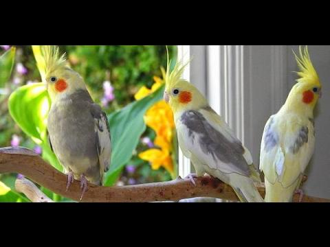 صور عصافير الزينة , اشكال جميله جدا لعصافير الزينه
