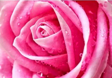 بالصور خلفيات ورود , اجمل صور خلفيات الورود 1072 2