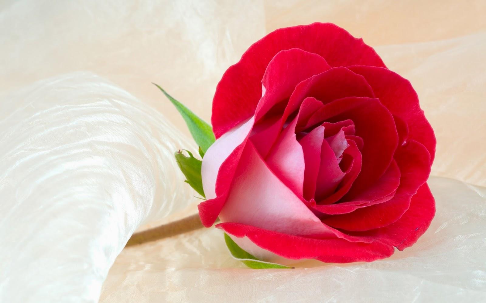 بالصور خلفيات ورود , اجمل صور خلفيات الورود 1072 9