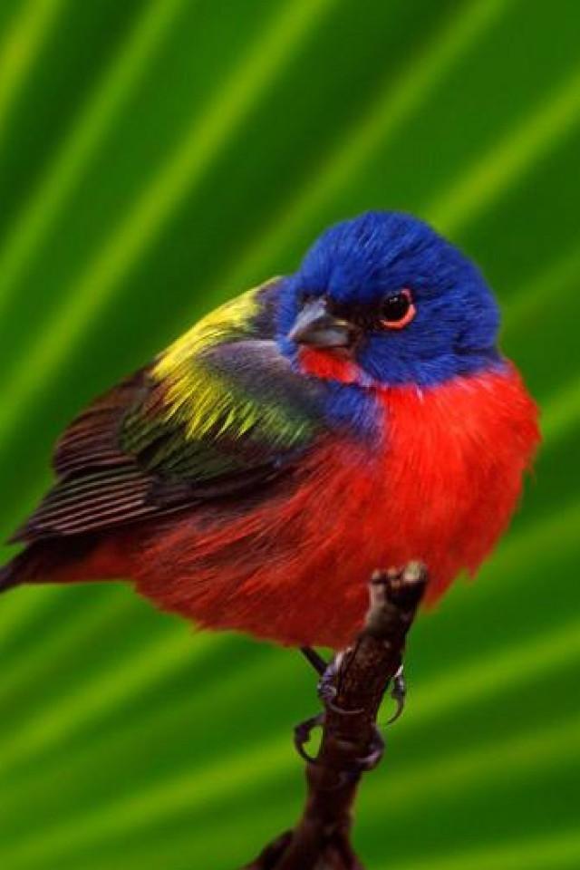 بالصور اجمل كناري في العالم , عصافير الكناريا 1220 4
