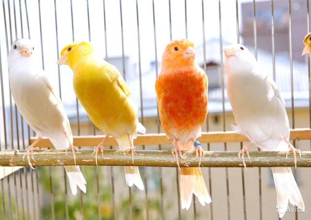 بالصور اجمل كناري في العالم , عصافير الكناريا 1220 7