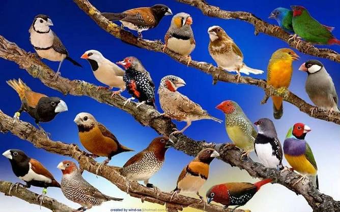 صوره اجمل كناري في العالم , عصافير الكناريا
