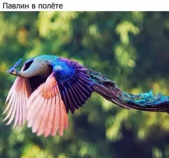 بالصور اجمل الطيور في العالم , احلى اشكال للطير الملون 335 5