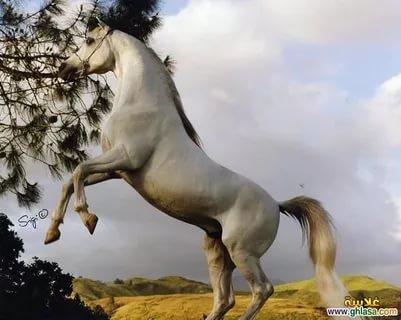 بالصور اجمل حصان فى العالم , صور لاكثر الاحصنة جمال واصل 338 3