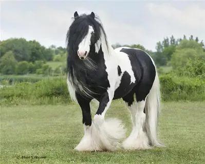 بالصور اجمل حصان فى العالم , صور لاكثر الاحصنة جمال واصل 338 4