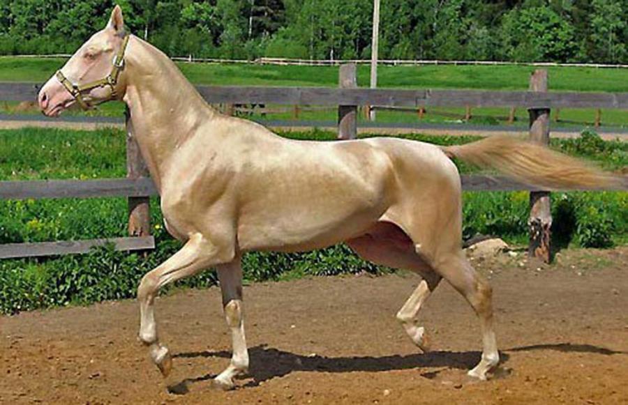 بالصور اجمل حصان فى العالم , صور لاكثر الاحصنة جمال واصل 338 6