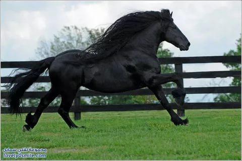 بالصور اجمل حصان فى العالم , صور لاكثر الاحصنة جمال واصل 338 8