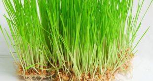 صوره عشبة القمح , فوائد عشبة القمح واهميتها
