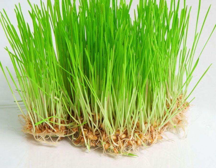 صور عشبة القمح , فوائد عشبة القمح واهميتها