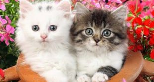 بالصور صور قطط , قطط تجنن 945 10 310x165