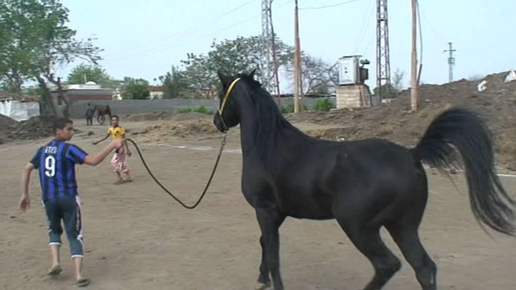 بالصور خيول عربية , اجمل الخيل العربي الاصيل 585 2