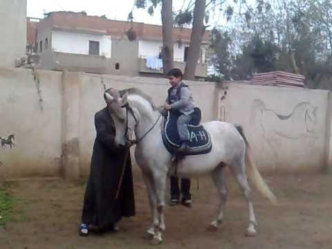 بالصور خيول عربية , اجمل الخيل العربي الاصيل 585 3