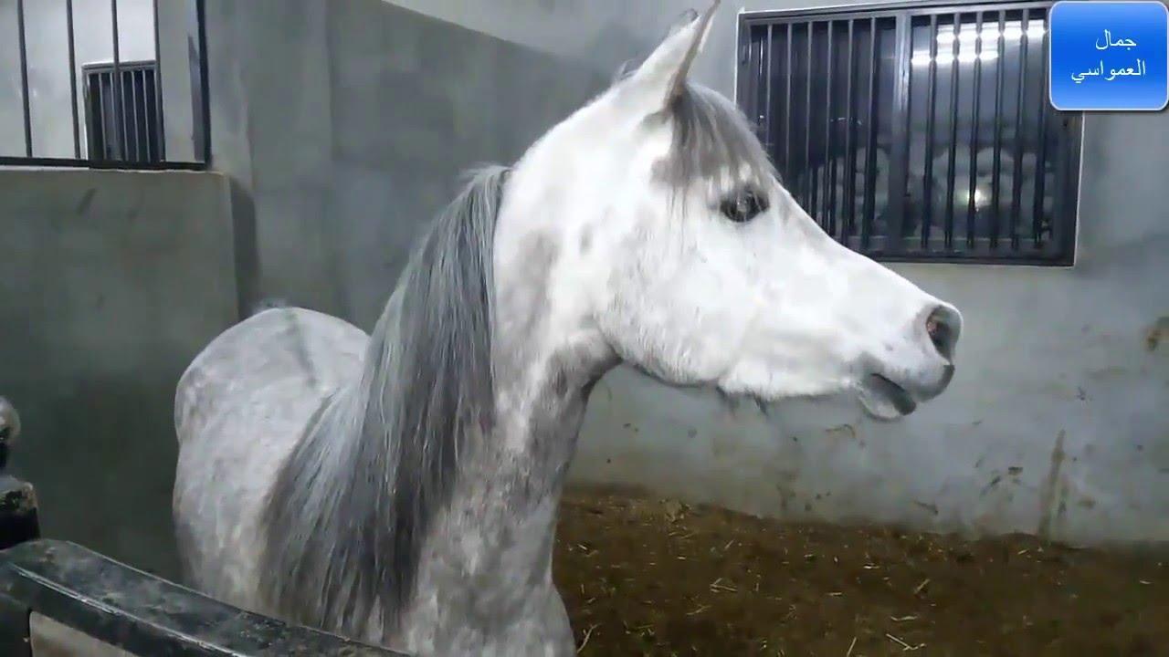 بالصور خيول عربية , اجمل الخيل العربي الاصيل 585 7