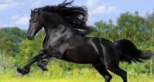 صورة خيول عربية , اجمل الخيل العربي الاصيل 585 8 310x165