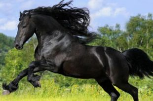 بالصور خيول عربية , اجمل الخيل العربي الاصيل 585 8 310x205