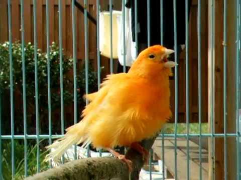 صوره صوت عصافير كناري , اجمل صوت لذقذقه الكناري