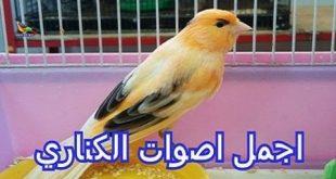 صور صوت عصافير كناري , اجمل صوت لذقذقه الكناري