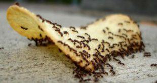 بالصور القضاء على النمل في البيت , طرق مبتكرة لطرد النمل من المنزل 8791 3 310x165