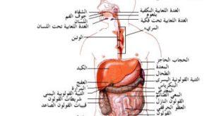 اجزاء الجهاز الهضمي بالتفصيل , معرفة جسم الانسان واجزاء الجهاز الهضمى بالكامل