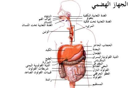 صورة اجزاء الجهاز الهضمي بالتفصيل , معرفة جسم الانسان واجزاء الجهاز الهضمى بالكامل
