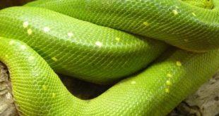 تفسير حلم ثعبان اخضر يلاحقني , رؤية فى المنام ثعبان اخضر يركد ورائي