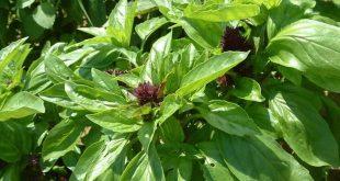 بالصور فوائد ورق الريحان , تعرف على نبات الريحان واهميته 8532 3 310x165