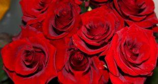 صور صور ورد جوري احمر طبيعي , اجمل صور للورد الجوري الاحمر