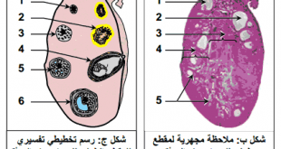 صور رسم تخطيطي للمبيض , المبيض والرسومات التوضيحية له