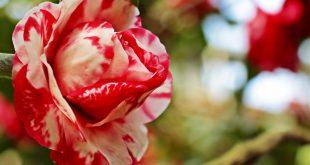 صور صور جميلة ورد , اروع ورود في العالم في غاية الجمال