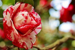 صورة صور جميلة ورد , اروع ورود في العالم في غاية الجمال