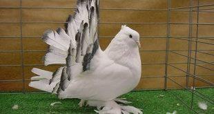 صور حمام هزاز , اجمل الطيور للزينه حمام الهزاز
