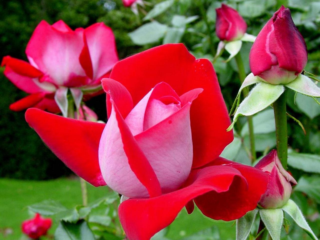 صور تحميل صور ورد , شاهد اروع الورود في العالم