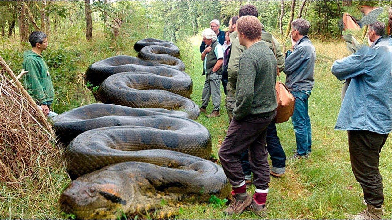 صورة صور اكبر ثعبان في العالم , شاهد اكبر ثعبان في الدنيا لن تصدق