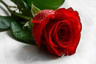 صورة ورد طبيعي , انواع الزهور الجميلة