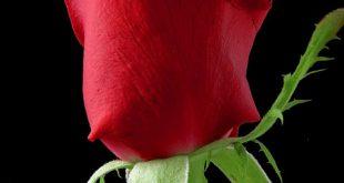 صورة عبارات عن الورد,ياوردة فى بستان ابيض