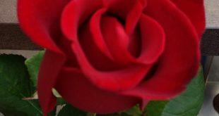 صورة اجمل ورود الحب،افضل انواعها